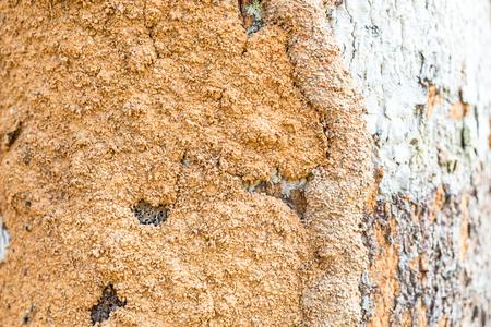 celulosa: Dampwood termitas de la madera descomposici�n por el consumo de madera o celulosa. Sus gr�nulos fecales se adhieren al tronco, y aparecen como suelo. Estos gr�nulos sellan galer�as de termitas, para mantener la humedad dentro del sistema de galer�as. Las termitas madera h�meda son una de las TI Foto de archivo