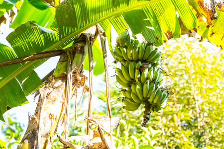 A bundle of green bananas, is well-developed at an orchard. This tropical fruit is still green, but shall turn to yellow shortly. In Thailand, bananas can be processed in various forms of dessert and food. Standard-Bild