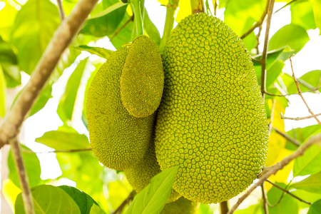 premature: Jackfruit is a fruit that originated from the South Asia. The fruits grow out the trunk, and hang until rot. When begin to ripen, farmers shall cover the fruits with leaf baskets to protect from insects.