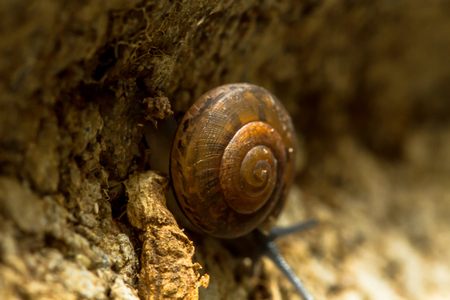 A land snail with a right-handed shell, is crawling downwards of a brick to a dark and damp place. The snail has a strong muscular foot, and uses mucus to enable to crawl over a rough surface.