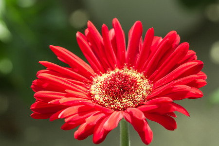 Gerbera is widely used as a decorative garden plant or cut flower, that exists thousands of varieties and cultivars. The Gerbera is native to tropical regions of Asia, Africa and South America. Standard-Bild