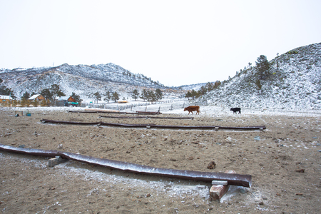 Livestock farmers in Siberia let their cattle freely roaming within the area of the farm. The farmers install drinking water troughs for the cattle, but the water source is insufficient in the winter. Standard-Bild