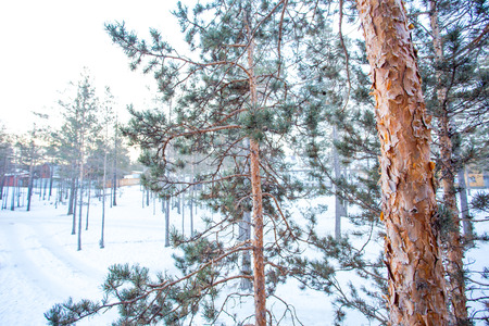 Pine trees are coniferous plant that have leaves always green all over the year. This plant is tolerant of the severe winter at the temperature down to about minus 60 degree celcius.