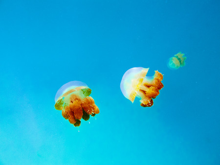 medusa: Three yellow medusa floats in the clear blue sea