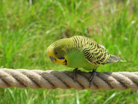 Budgerigar on rope
