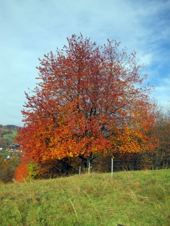 Tree in autumn, autumn leaves
