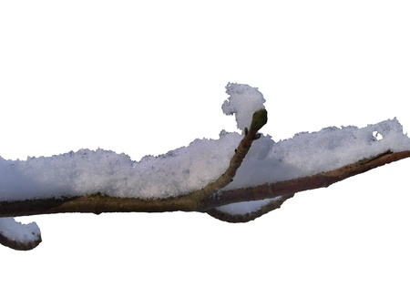 Tree branch with snow isolated