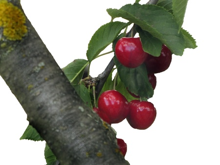 Branch with cherry branch isolated Stock Photo