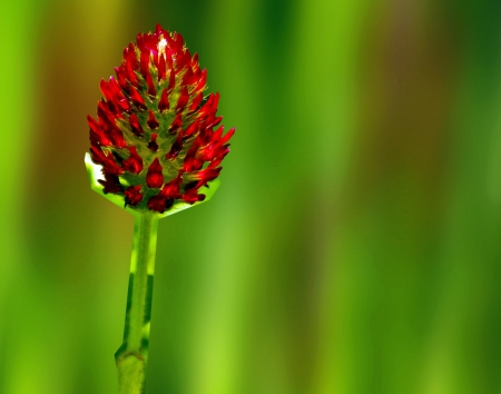 red flower umbel