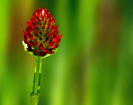 umbel: red flower umbel