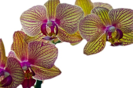 Orchids, yellow white