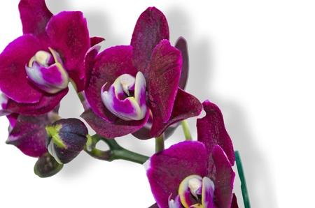 Orichideen, violet