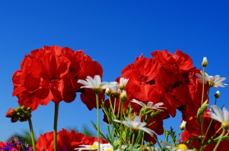 Geraniums in front of blue sky Stock Photo
