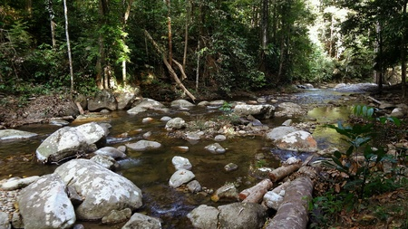 riverside tree: River in Rainforest