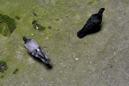 black: Black and Gray Pigeons