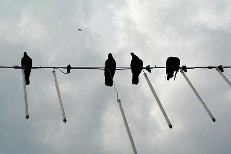 wire: Pigeons  on Wire