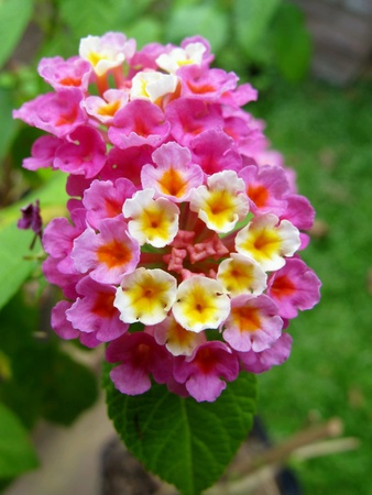 lantana: Tiny Pink White Lantana Flowers