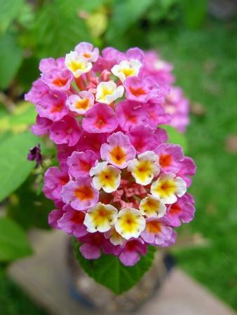 white: Tiny Pink White Lantana Flowers