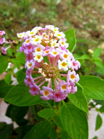 tiny: Tiny Pink White Lantana Flowers