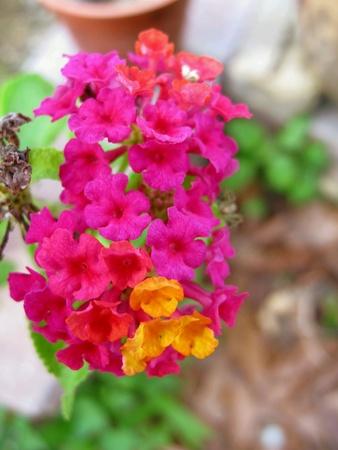 lantana: Tiny Pink Lantana Flowers Stock Photo