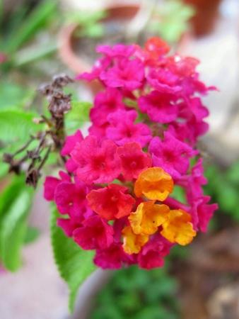 tiny: Tiny Pink Lantana Flowers Stock Photo