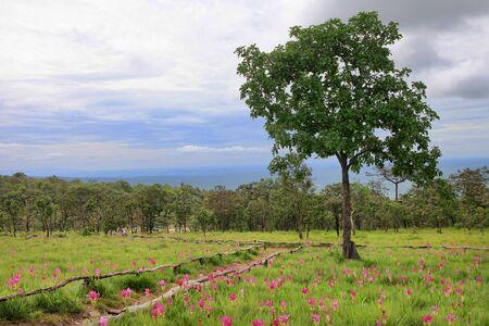 Pink Krachiew flowers in full bloom in natural season at Sai Thong National Park Chaiyaphum, Thailand