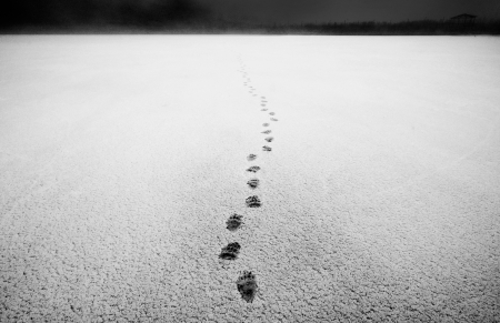 Wide angle lens shot  Real bear footprints photo