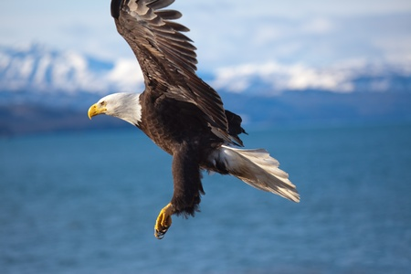 Photo of an american bald eagle in flight.