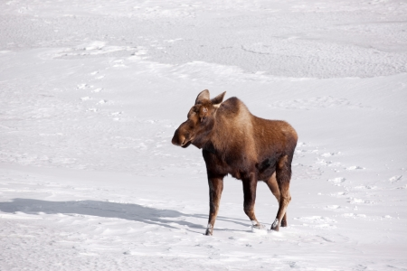big moose: A photo of a moose on snow covered ground. It was taken in Alaska. Stock Photo