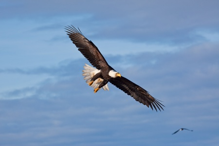 An american bald eagle in flight