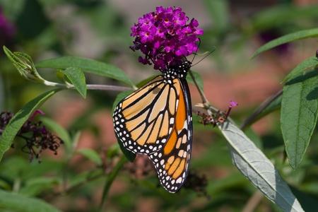 A monarch butterfly on a purple flower  Stock Photo - 12498884