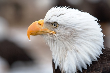 A head shot of an American Bald Eagle with a water drop on the tip of its beak
