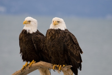 Two American bald eagles resting on a perch  Stock fotó