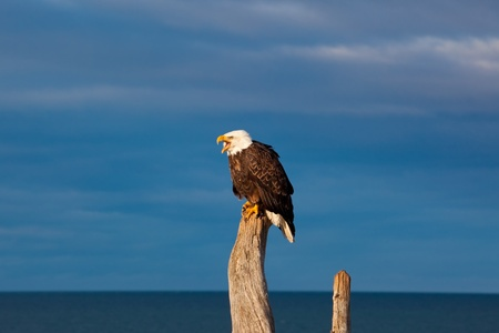 A photo of an American Bald Eagle resting on a perch  The photo was taken in Homer, Alaska  photo