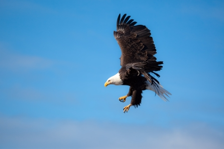 A Photo of an American Bald Eagle in Flight with a blue sky background  photo