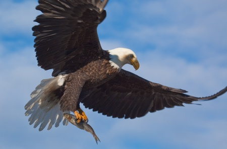Photo of an American Bald eagle carrying a fish while flying  Stock Photo