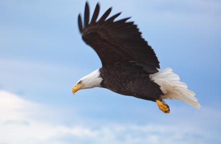 Photo of an American Bald Eagle in Flight Stock Photo