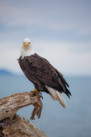 A phot of an American Bald Eagle sitting on a perch photo