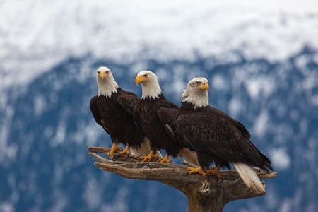 homer: A photo of 4 American Bald Eagles on a perch  The photo was taken in Homer, Alaska Stock Photo