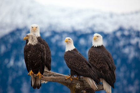 A photo of 4 American Bald Eagles on a perch  The photo was taken in Homer, Alaska  스톡 콘텐츠