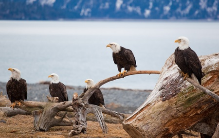 A photo of many American Bald Eagles. It was taken in Homer, Alaska. The background is sea and snow covered mountains.