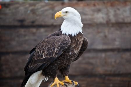 calvo: Foto de un águila calva
