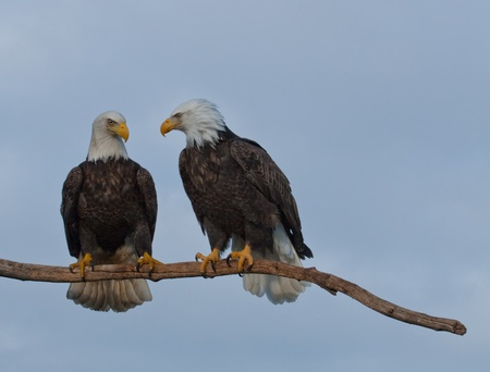 A photo of two bald eagles taken resting on a tree limb  Stock fotó