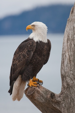 Bald Eagle resting on a perch Stock Photo