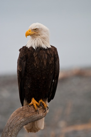 Bald Eagle resting on a perch photo