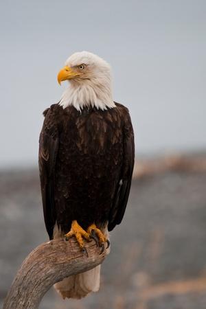 calvo: Águila de cabeza blanca que descansa sobre una percha