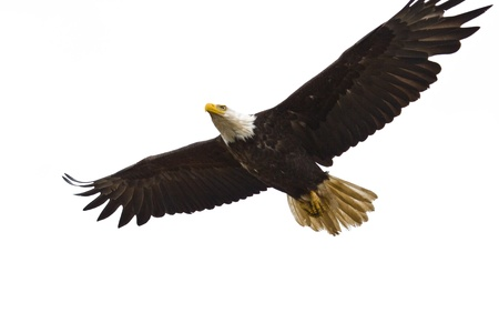 american eagle: Photo of an American Bald Eagle in flight