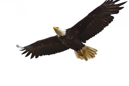 orzeł: Zdjęcie z Bielik amerykański w locie Zdjęcie Seryjne