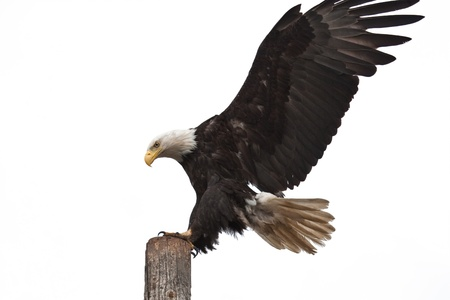 Photo of an American Bald Eagle landing on a post