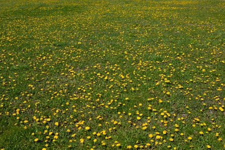 A photo of a grassy field with dandelions